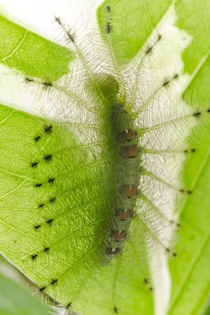 Caterpillar of the Common Gaudy Baron butterfly ( Euthalia lubentina ) on green leaf