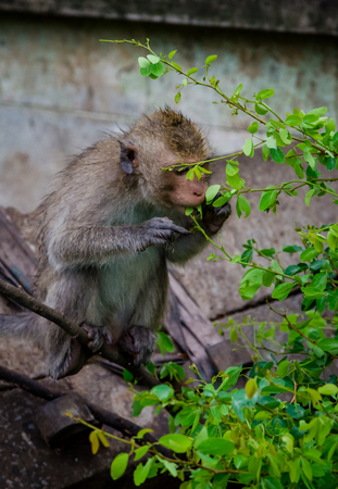 Young monkey eating green leaf