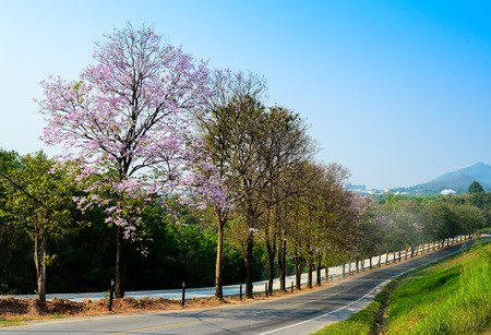 Nice tree flower blossom at down hill road, Thailand