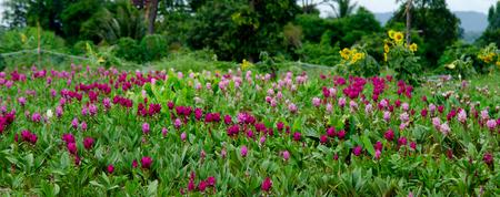 Siam Tulip garden in Thailand 免版税图像
