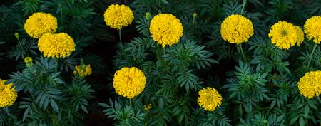 Marigold flower blooming in garden Standard-Bild