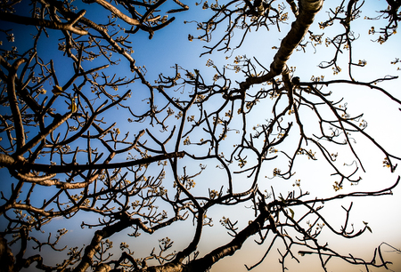 Branch of tree and Frangipani flowers with blue sky Banque d'images