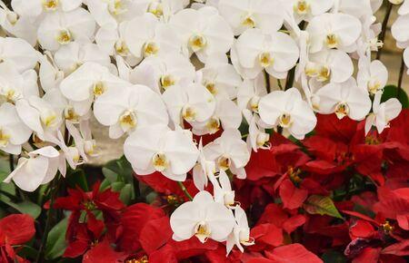 White orchid blossom, Flower decorate Standard-Bild