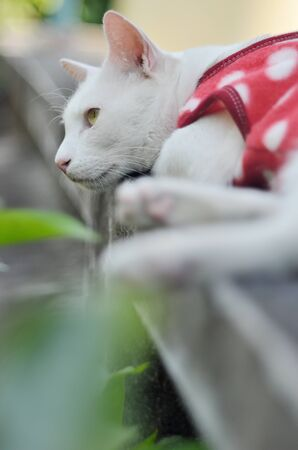 Portrait of white cat with red cloth lay down on concrete wall and looking up