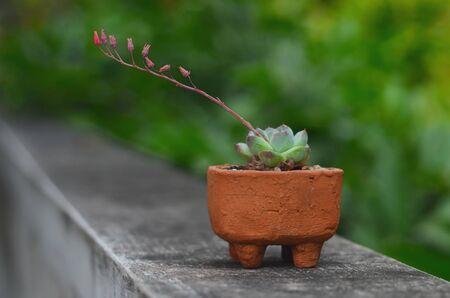 Flower of cactus blossom, ECHEVERIA Banco de Imagens