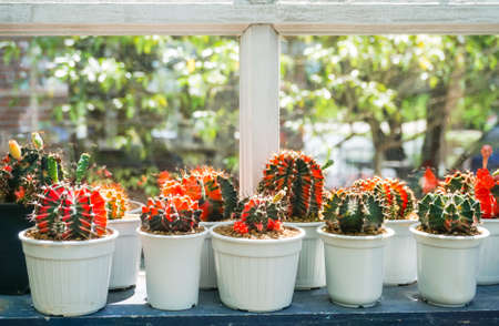 Group of cactus pot at window of green house (Gymno)