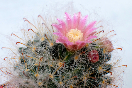 waterless: Beautiful Cactus flower with selective focus