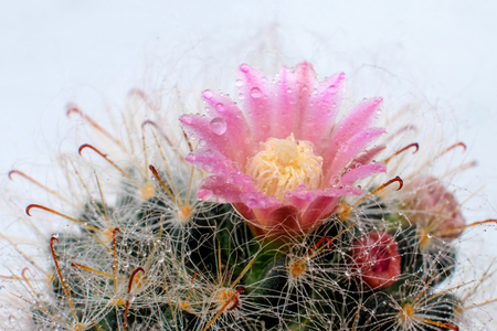 Beautiful Cactus flower with selective focus