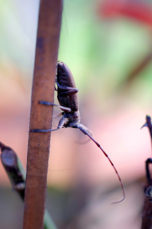 long horn beetle: Macro Long-horned Beetle, Stem boring grub, or Dorysthenes (Lophosternus)bugueti Guerin on dry stick Stock Photo