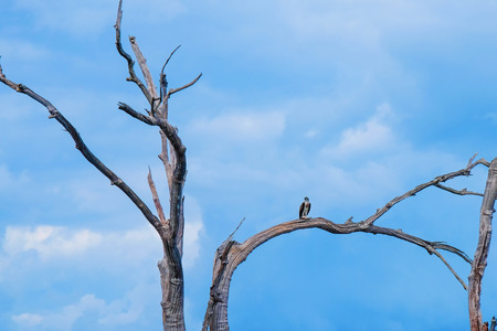 A eagle on a dead tree at Ratchaprapa dam , khao sok national park in surat thani southern of thailand Stock Photo