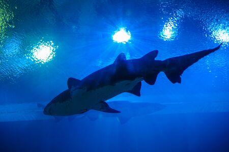 Squalo in un acquario, Thailandia