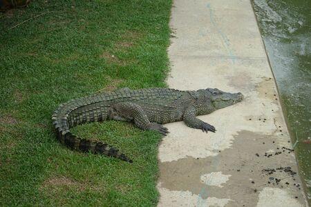 Crocodile in the zoo, Thailand 写真素材