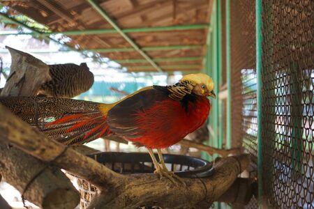 Golden pheasant, Red golden pheasant, Chinese pheasant, Beautiful bird in the zoo, Thailand