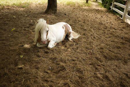 Pony ( mini dwarf horse), Thailand