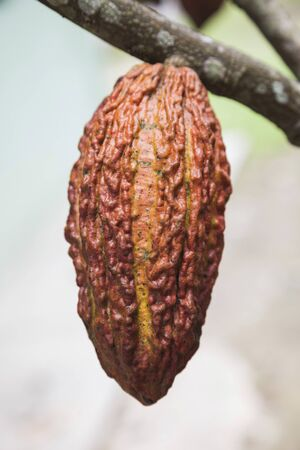 Cocoa bean, big. Chocolate production. In the garden