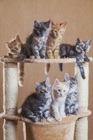 maine coon cute kittens Imagens