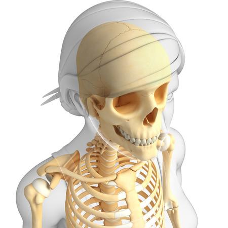 Illustration of female skeleton anatomy illustration