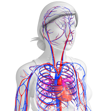 pulmonary trunk: Illustration of Female heart circulatory system Stock Photo