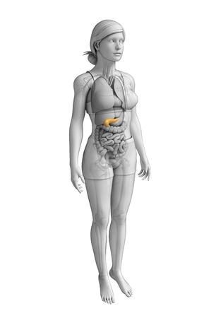 pancreas: Illustration of female pancreas anatomy
