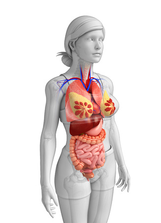 descending colon: Illustration of female large intestine anatomy Stock Photo
