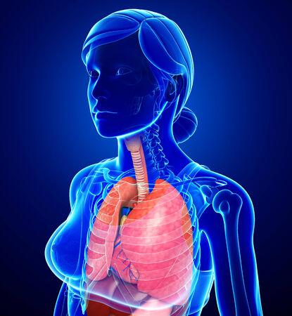 Illustration of female respiratory system illustration