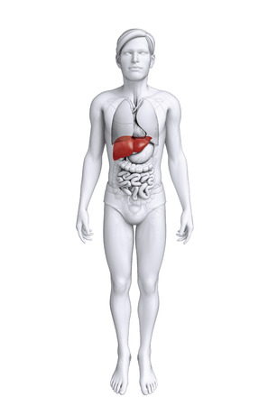 Illustration of male liver anatomy