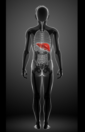 Illustration of male liver anatomy illustration