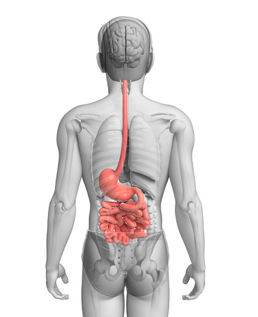 descending colon: Illustration of Male large intestine anatomy Stock Photo