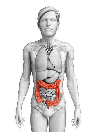 Illustration of Male large intestine anatomy Stock Illustration - 29930213