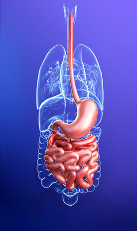 jejunum: Illustration of human small intestine anatomy Stock Photo