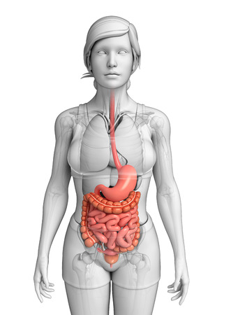 Illustration of female small intestine anatomy illustration