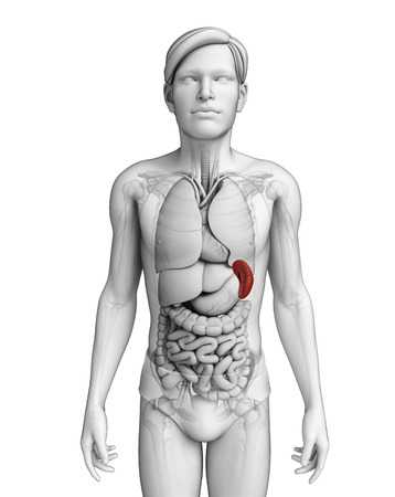 colic: Illustration of male spleen anatomy Stock Photo