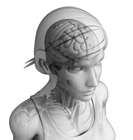 midbrain: Illustration of female head anatomy