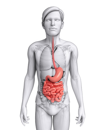 small intestine: Illustration of male small intestine anatomy Stock Photo