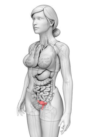 illustration of female uterus anatomy illustration