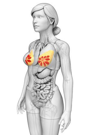 Illustration of female breast artwork illustration