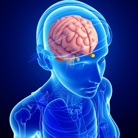 Illustration of female brain anatomy Stock Photo