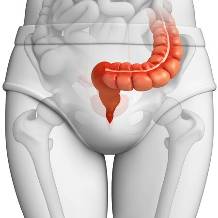 Illustration of Male large intestine anatomy Stock Photo
