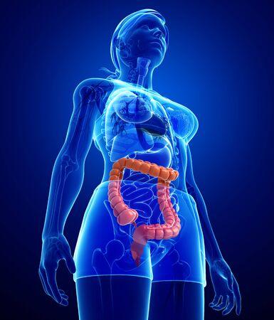 Illustration of Female large intestine anatomy Stock Illustration - 29930480