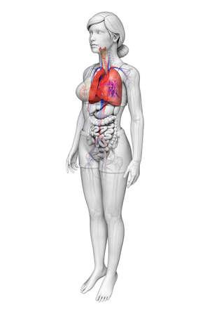 Illustration of female lungs anatomy illustration