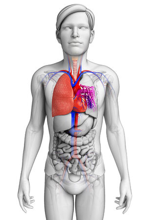 asthmatic: Illustration of male lungs anatomy