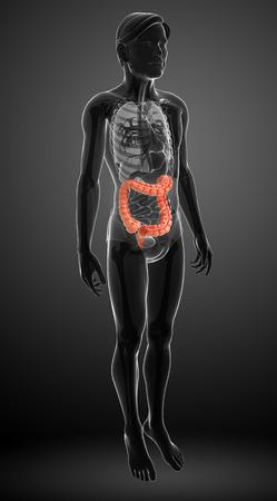 transverse colon: Illustration of Male large intestine anatomy Stock Photo