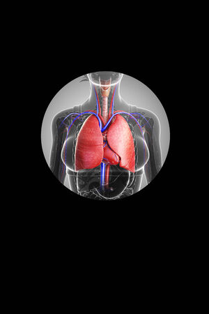 pleural: Illustration of female lungs anatomy Stock Photo