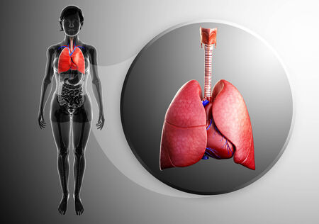 asthmatic: Illustration of human lungs anatomy
