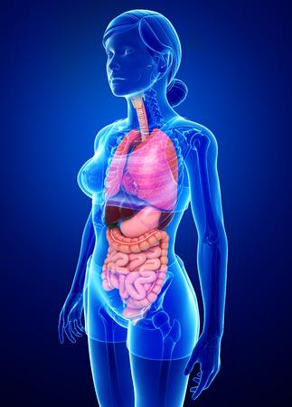Ilustración de todos los órganos femeninos de anatomía en azul