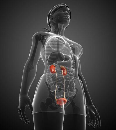 Illustration of Female urinary system