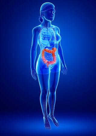 appendicits: Illustration of Female large intestine anatomy