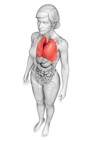 Illustration of human lungs anatomy illustration