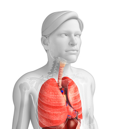 pleural: Illustration of male respiratory system