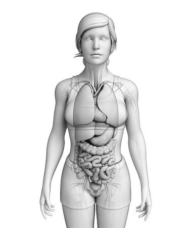 ureter: Illustration of female digestive system  Stock Photo